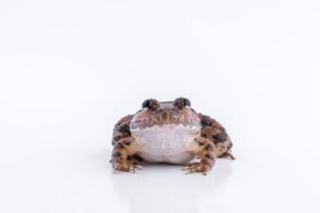 Limnonectes kuhlii (Tschudi, 1838) : frog on white background ,Amphibians of Thailand