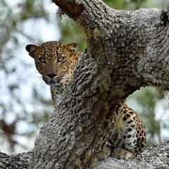 Leopard on a tree. The Sri Lankan leopard. Female.