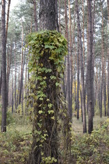 старая сосна обвитая лесным вьющимся растением в сосновом лесу