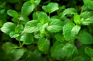 Fresh green mint leaves. Nature pattern for background