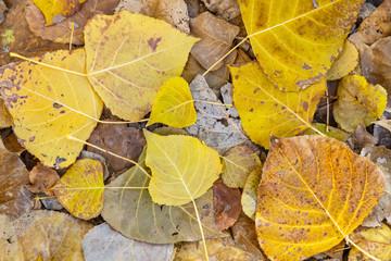 Hojas de chopo caídas durante el otoño. Populus.