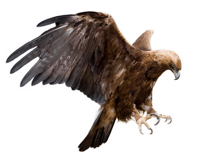 Photo sur Plexiglas Aigle golden eagle, isolated