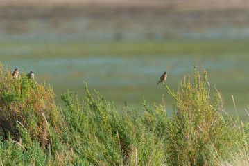 Song trust, birds standing on wild grasses on the shore