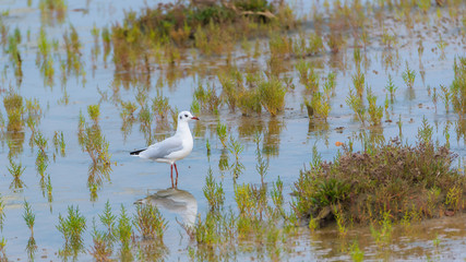 Gull eating in the swamps, in the seaweeds