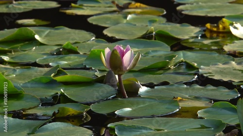 Lotus Flower Blooming In Pond Video 4k Uhd Stock Footage And