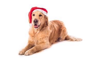Golden Retriever dog isolated on white
