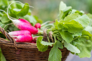 Bunch of radishes in a wicker basket