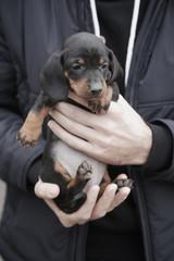 Man holding daschund puppy