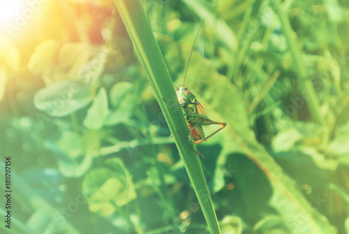Big green grasshopper sitting on a blade of grass in beautiful
