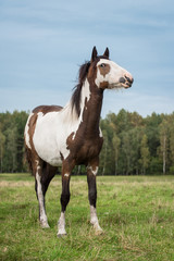 Fototapete - Beautiful paint horse in summer