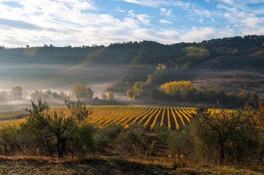 Rows of grape vines at vineyard under sunrise, Tuscany, Italy