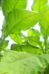 Tobacco plants growing in Taiwan