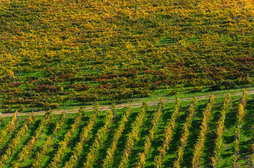 Rows of grape vines at vineyard in autumn , Chianti, Tuscany, Italy