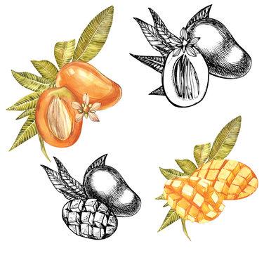Set of Watercolor botanical illustration. Mango Fruit and flowers isolated on white background. Watercolor and graphic illustration.