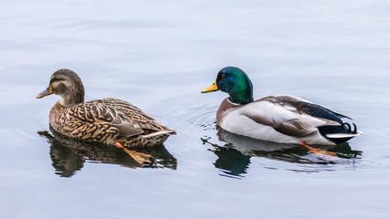 Mallard Duck Pair Swimming