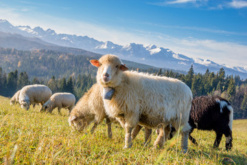 Fond de hotte en verre imprimé Sheep sheep grazing on a mountain meadow