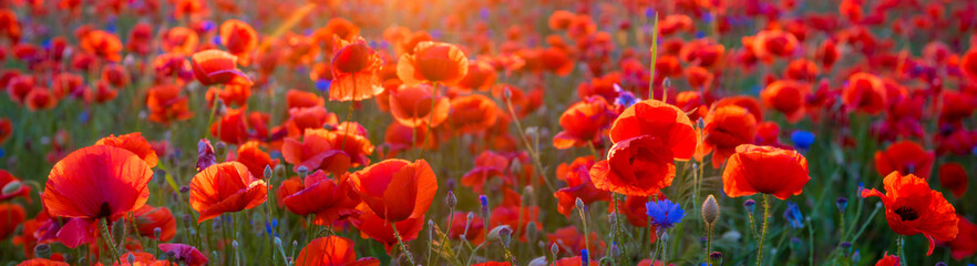 Foto op Canvas Klaprozen Poppy meadow in the light of the setting sun