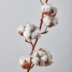 Beautiful white cotton flowers on gray background