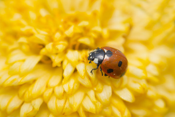 Red ladybug on a yellow flower, The Netherlands