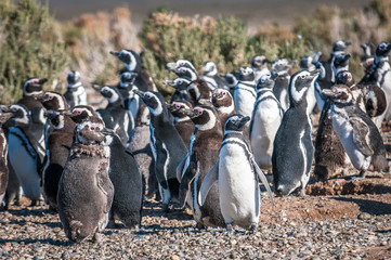 Magellanic penguins in Patagonia, Argentina