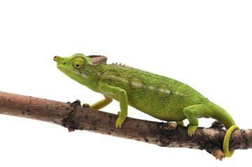 Female Lizard Antimena chameleon isolated on white background