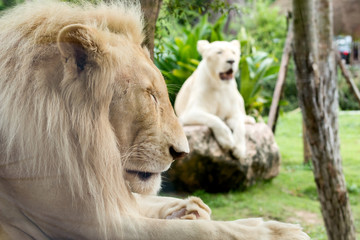 Close up of Male white lion lying and sleeping together with female white lion behide