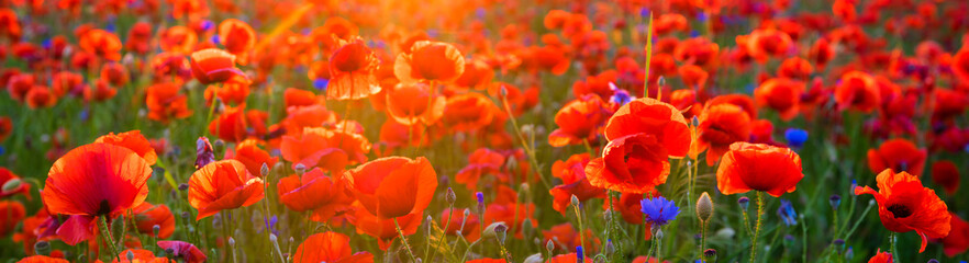 In de dag Baksteen Poppy meadow in the light of the setting sun