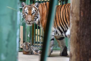 Malayan tiger cub with its mom