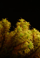 Macro close-up photograph of moss (Bryophyte species) isolated on a black background