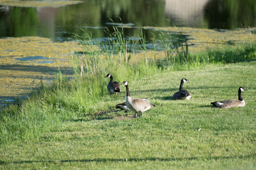 Canadian geese by water