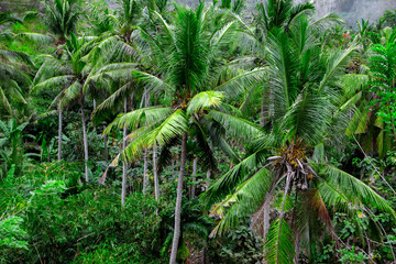 Coconut palm tree jungle forest. Green nature background