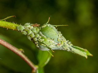 aphids cover rose bud