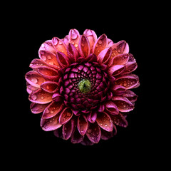 Dahlia against plain background, pink