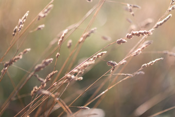 Meadow grass in back light of setting sun, rural scene
