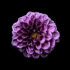 Dahlia against plain background, purple