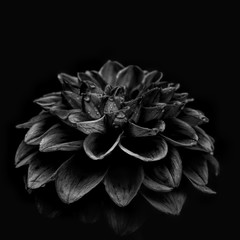 Dahlia against plain background, black and white