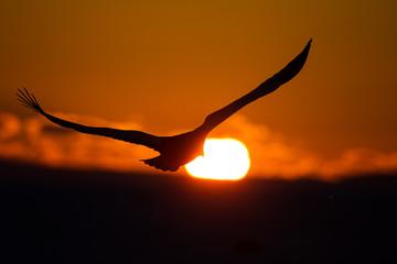 Seeadler in Rausu, Hokkaido, Japan