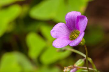 Tree leaf clover flower trefoil Trifolium - purple