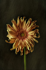 Gerbera against plain background