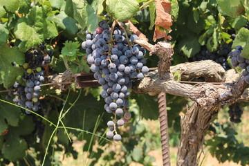 Bunch of red wine grapes on vine in a vineyard near Stavros Beach in Crete Island, Greece.