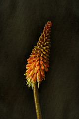 Kniphofia against plain background