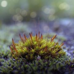 Moss, close-up
