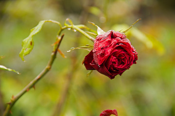 Roses in a botanic garden near Hyde Park after a rain, London