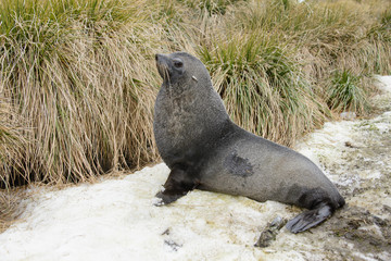 Fur seal on the grass