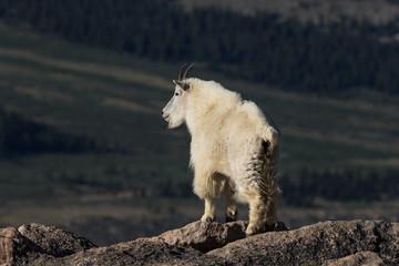 Mountain Goat with Dark Background