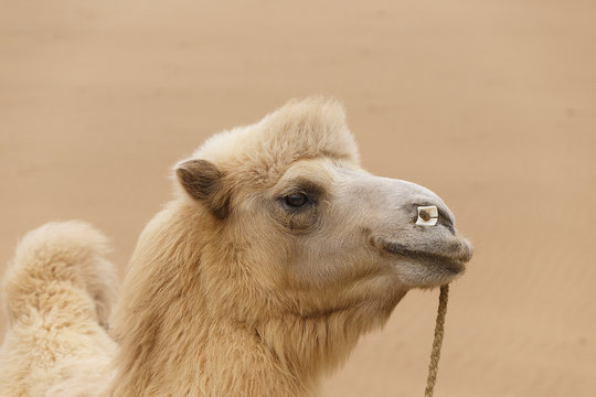 camel,badain jaran