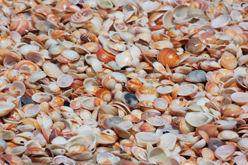seashells of different colors, mollusk shells