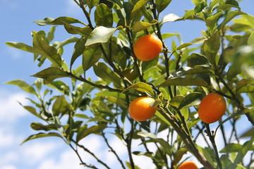 Cunquat fruits on the tree