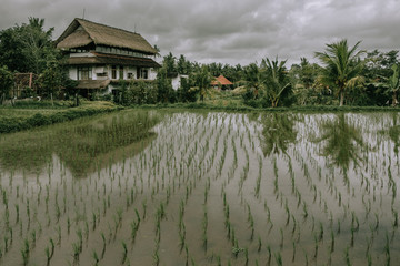 Green field rice terrace at Bali, Indonesia