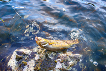 Spinning fishing (lure fishing) trout in lakes of Scandinavia.